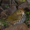 Ovenbird.  This bird is classed with Wood Warblers.