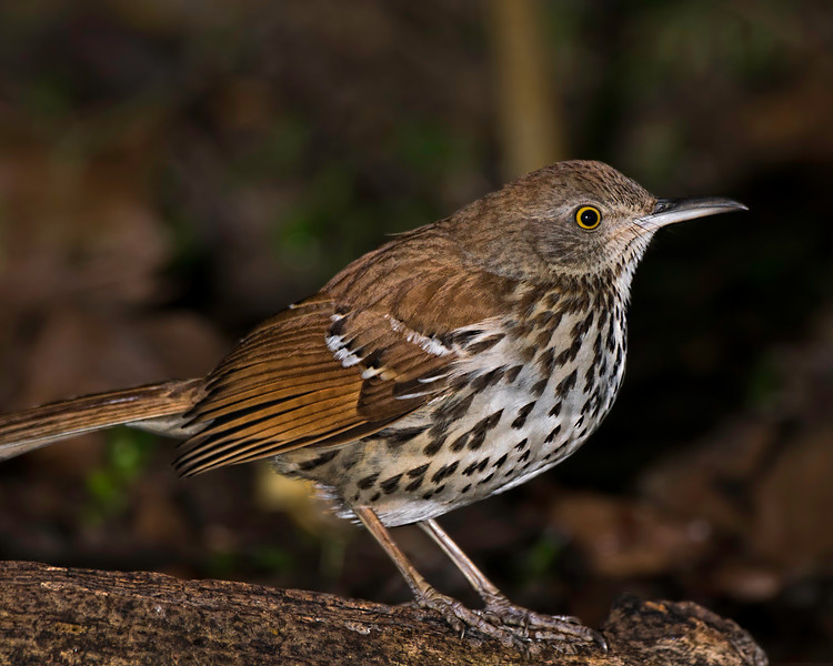 Brown Thrasher, male.