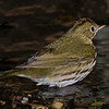 Ovenbird in bath.  Often when the Ovenbird it is first seen he is pretty far back from the drip.  Slowly he will make his way up to the drip while feeding and can take up to 45 minutes.