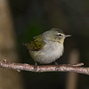 Tennessee Warbler, male.