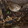Northern Waterthrush at the drip pond.  Shot 042513.