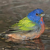 Painted Bunting male bathing in the drip pond on 042315.