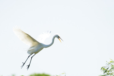 High_Island_2014_Great_Egret_Flight_RAW9692