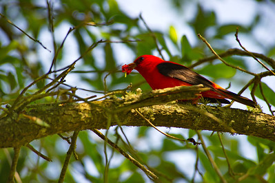 High_Island_2014_Scarlet_Tanager_Eating-berry_RAW9731