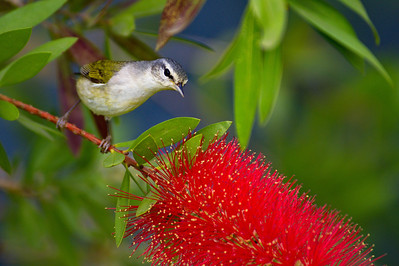 High_Island_2014_TN_Warbler_Bottlebrush_RAW9651