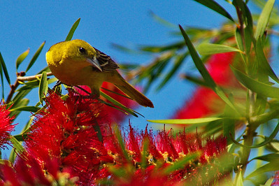 Hight_Island_2014_Baltimore_Oriole_Female_Bottlebrush_RAW9893a