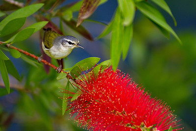 High_Island_2014_TN_Warbler_Bottlebrush_RAW9650