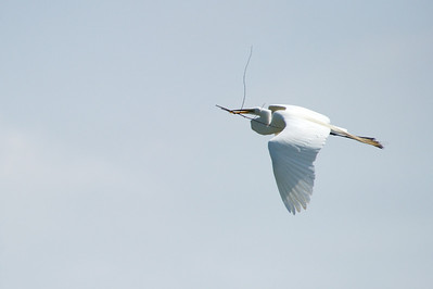 High_Island_2014_Great_Egret_Flight_RAW9666