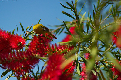 Hight_Island_2014_Baltimore_Oriole_Female_Bottlebrush_RAW9893