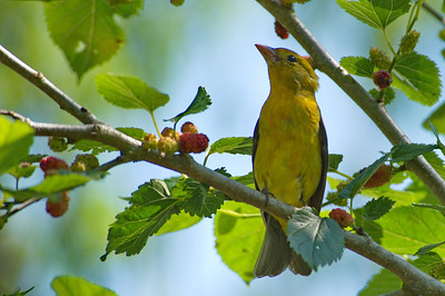 High_Island_2014_Scarlet_Tanager_female_RAW9759
