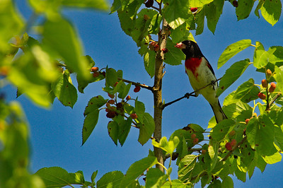 High_Island_2014_Rose-breasted_Grosbeak_berry_RAW9820