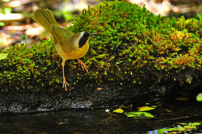 Common yellowthroat  Spring Migration 2010, High Island,Texas  Boy Scout Woods Photo Blind,  photo by Wayne Wendel