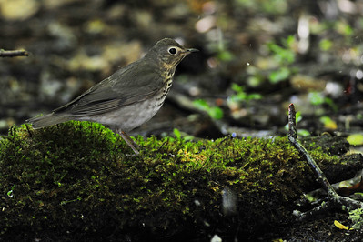 Grey-cheeked thrush  Spring Migration 2010, High Island,Texas  Boy Scout Woods Photo Blind,  photo by Wayne Wendel