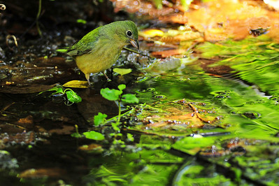 Scarlet tanager, female  Spring Migration 2010, High Island,Texas  Boy Scout Woods Photo Blind,  photo by Wayne Wendel