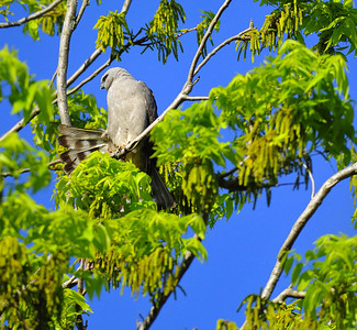 Mississippi kite  Spring Migration 2010, High Island,Texas  Boy Scout Woods  photo by Wayne Wendel