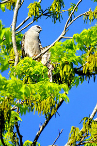 Mississippi kite  Spring Migration 2010, High Island,Texas  Boy Scout Woods near the bleachers photo by Wayne Wendel