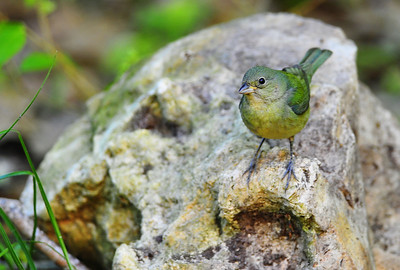 Painted bunting, female  Spring Migration 2010, High Island,Texas  Boy Scout Woods Photo Blind,  photo by Wayne Wendel