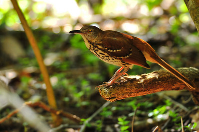 Brown Thrasher  Spring Migration 2010, High Island,Texas  Boy Scout Woods Photo Blind,  photo by Wayne Wendel