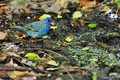 Indigo bunting  Spring Migration 2010, High Island,Texas  Boy Scout Woods Photo Blind,  photo by Wayne Wendel