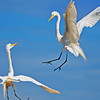 Circle Flight of the Great Egrets