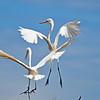 Circle Flight of Mating Egrets