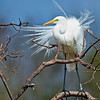 Great Egret Breeding Plumage Showing Aggressive Display