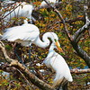 Twig Billing:  A Push-Pull Game Played by Mating Egrets