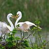 Twig Billing:  Breeding Behavior of Great Egrets