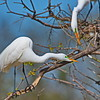 Aggressive Display by the Male Great Egret