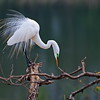 Aggressive Display of the Male Great Egret
