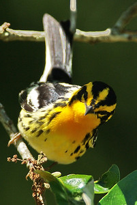 Star of the show for Monday, April 20,  2009....Blackburnian Warbler