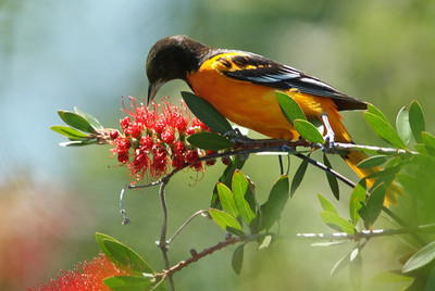 "Baltimore Oriole on the infamous ""bottle brush"""