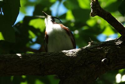 Chestnut-sided_Warbler