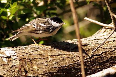 Black-polled Warbler