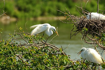 Great Egrets nest-building on Heron Island; the male approaches the female with a building stick for the nest.