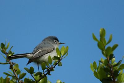 Blue-gray_Gnatcatcher