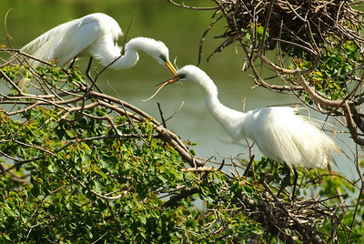 Great Egrets nest-building on Heron Island; the female takes the stick from the male.