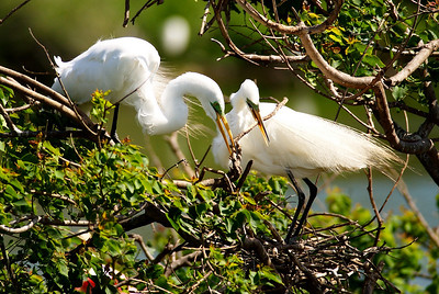 Great Egrets nest-building on Heron Island; Both parents place the stick on the nest and the male goes for another stick.