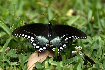 BlkSwallowtail