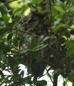 A sleepy Eastern Screech Owl (gray morph)
