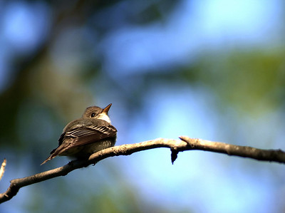 Acadian Flycatcher (by song)