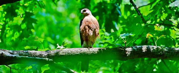 05182017_Russ_Pittman_Park_Coopers_Hawk_Cover-Photo_500_9975