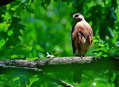 05182017_Russ_Pitman_Park_Coopers_Hawk_Perched_500_9975