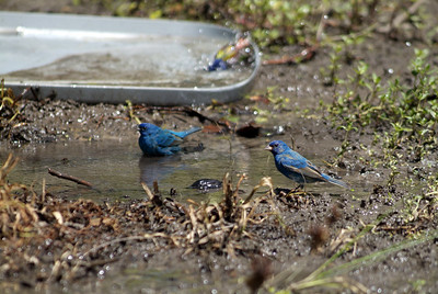 Bathtime for a pair of Indigo Buntings at Sabine Woods.  This bird bath attracted many buntings, orioles, warblers and other migrants.