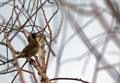 Common Yellowthroat proclaiming his territory at The Willows