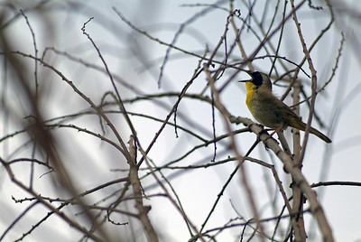 Common Yellowthroat declaring his territory