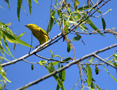Yellow Warbler photographed at The Willows