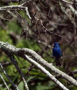 Indigo Bunting photographed at Sabine Woods