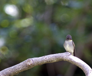 Eastern Wood Peewee in Sabine Woods