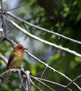 Summer Tanager, 1st year male